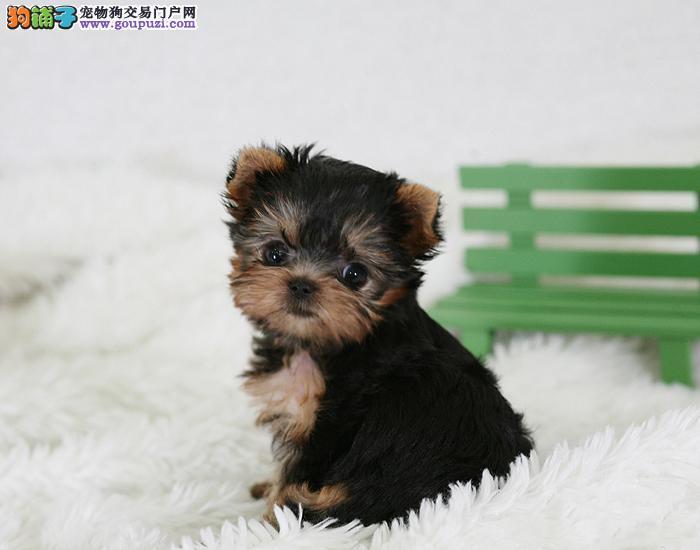 北京金头银背约克夏梗犬幼犬繁殖出售 体型小好养活