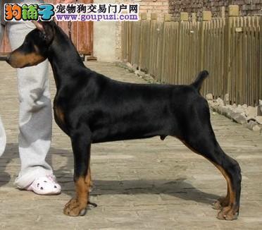 精品德系杜宾幼犬待售 红黑均有 耳朵已经立好4