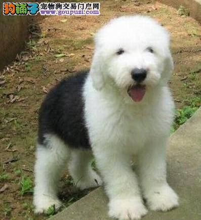 广元售全白头的古代牧羊犬是很帅气 小狗狗从小就拉风