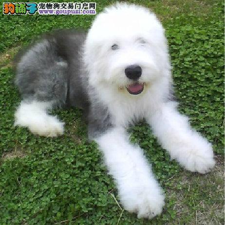 纯种,聪明,可爱古牧幼犬出售,白头双蓝眼
