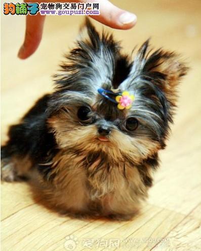 北京极品约克夏犬价格优惠转让 精品幼犬双血统 宠物狗图片