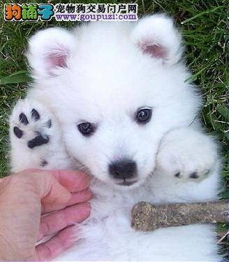 专业繁殖日系尖嘴银狐幼犬公母全三针齐 终身售后