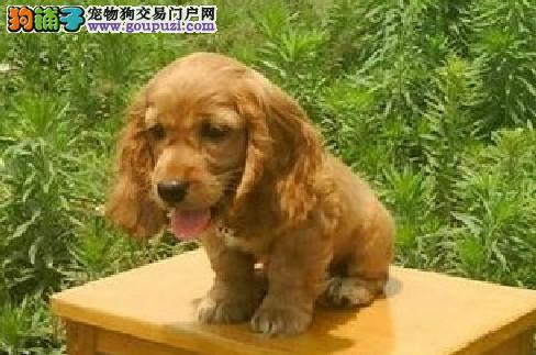 可卡宝宝热销中,专业繁殖血统纯正,提供养狗指导