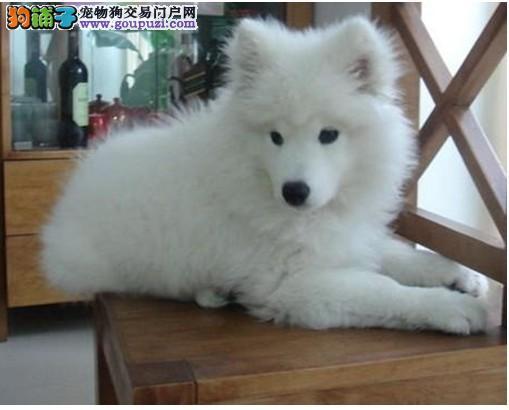海口实体店热卖银狐犬颜色齐全可直接视频挑选