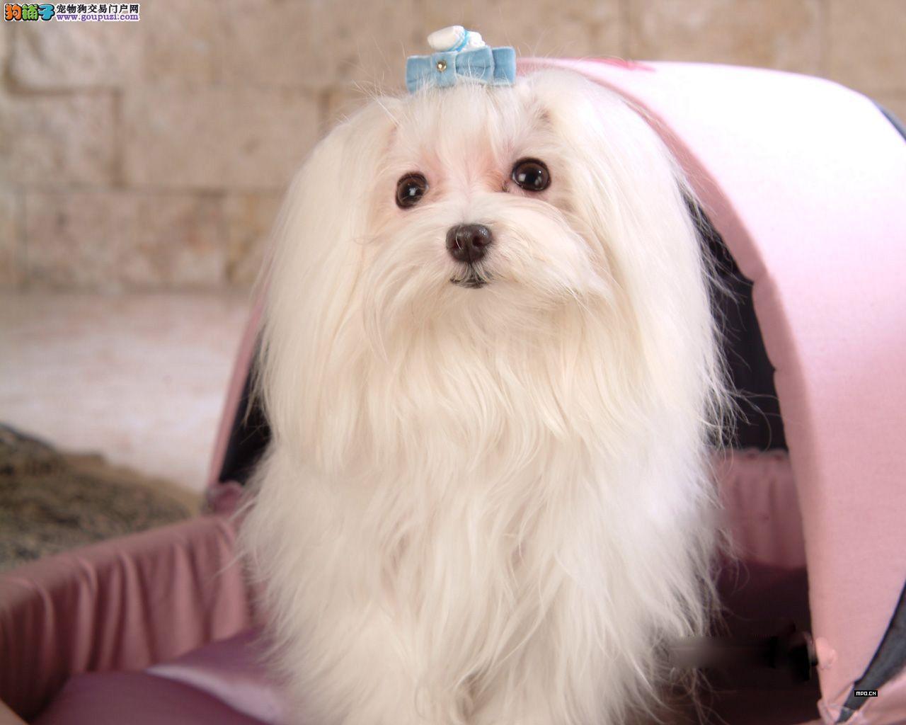 苏州出售聪明活泼的马尔济斯幼犬 雪白长毛狗狗好养活