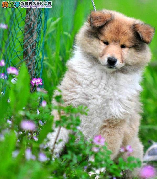 湘潭出售苏格兰牧羊犬 性格忠实活泼、疫苗做好4