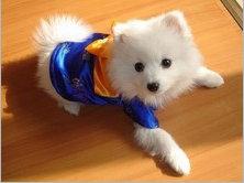 怎样才能让银狐犬变得非常温顺