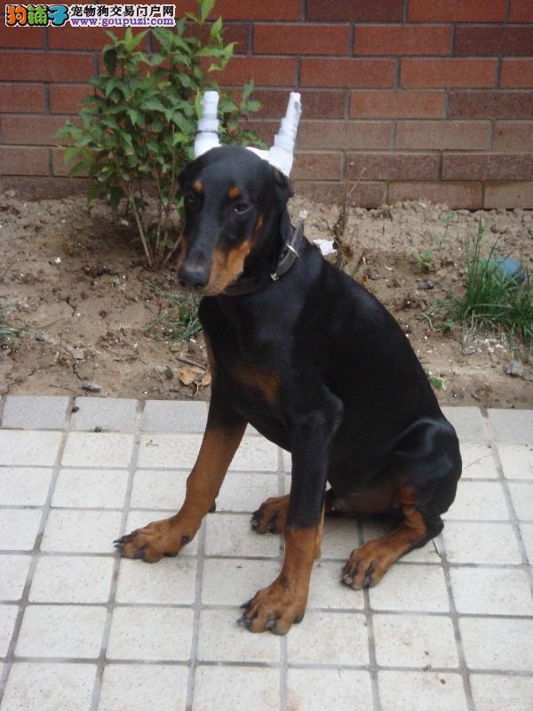 高品质德系杜宾犬幼犬出售 头版正骨量大可视频挑选1