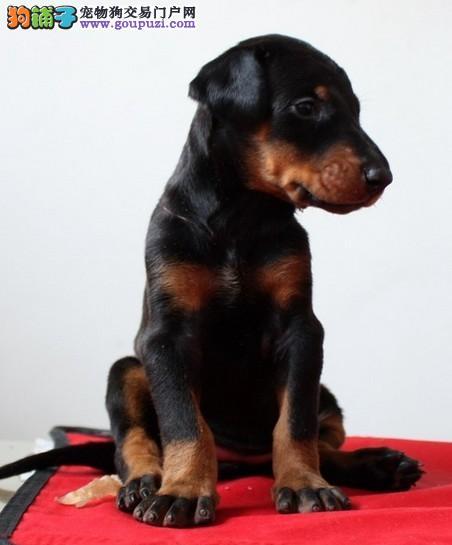极品纯正的郑州杜宾犬幼犬热销中三针疫苗齐全1