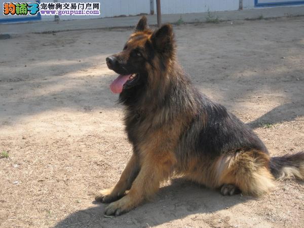公母均有的德国牧羊犬找爸爸妈妈签订终身协议