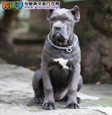 高端卡斯罗犬幼犬,国际血统品质保障,诚信经营保障