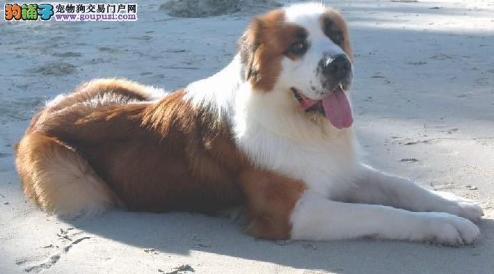 温州出售高大威猛圣伯纳幼犬纯种健康品相优良签订协议3