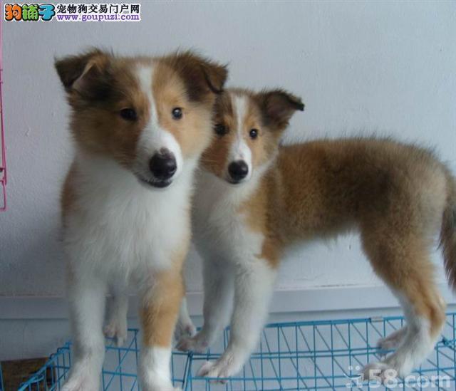 湖州特价直销苏牧犬健康有保障签署协议苏格兰牧羊犬