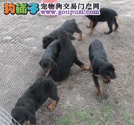 精品高品质罗威纳幼犬热卖中加微信送用品