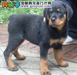 郑州纯种德系罗威纳犬改良幼犬多只出售选择多可视频1