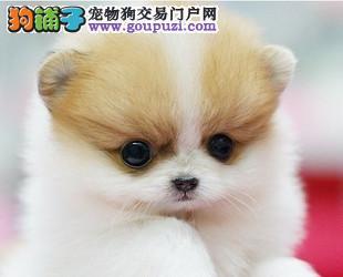 幼犬 活体宠物狗幼犬出售 大型养殖场直销 欢迎光临