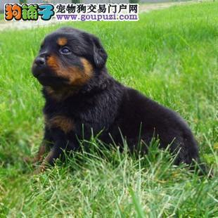 警犬大头罗威纳对外配种出售幼犬1