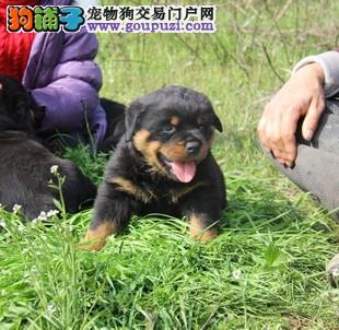 北京出售大头版罗威纳犬顶级防暴犬护卫犬罗威纳幼犬