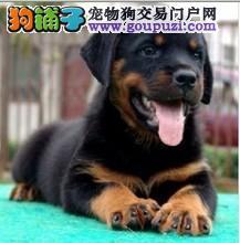 多种颜色的郑州茶杯犬找爸爸妈妈包售后包退换1
