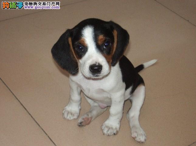 纯种比格犬 签订三年售后协议 每年三次免费治疗