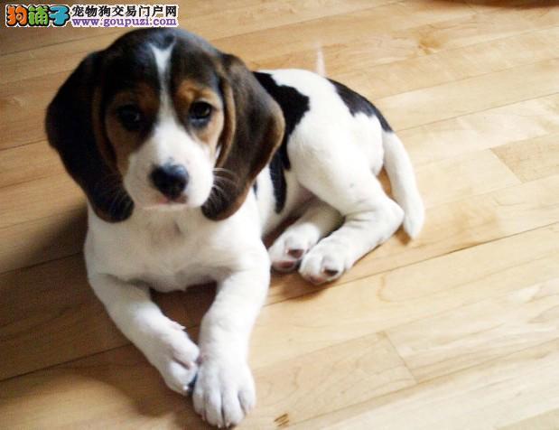 郑州家养赛级比格犬宝宝品质纯正均有三证保障