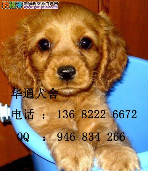 美国可卡和英国可卡_【出售纯种漂亮的可卡犬英国可卡美国可卡欢