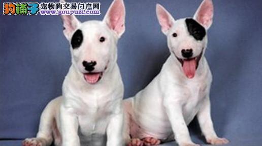 牛头梗幼犬出售 纯白和海盗眼的 多只可选 公母均有