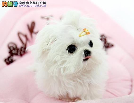 CKU认证犬舍出售高品质马尔济斯优质售后服务2