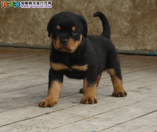 纯种罗威纳出售 可视频看狗 质量三包 三个月包退换