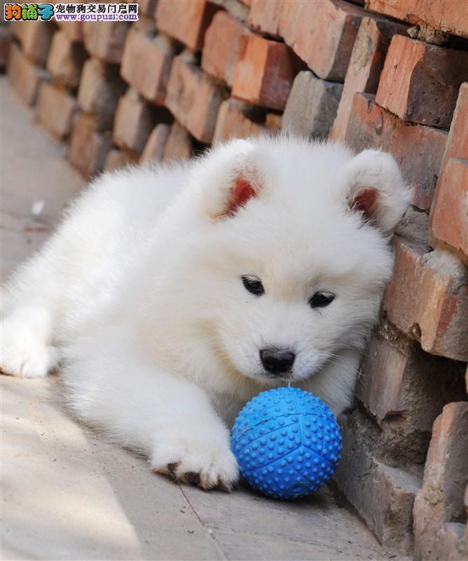 转让自家繁殖的青岛萨摩耶幼犬 毛色洁白聪明可爱
