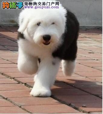 纯种赛级古牧犬带血统证书 免费送货 可视频看狗