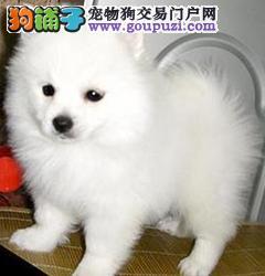 热销多只优秀的纯种郑州银狐犬质量三包完美售后