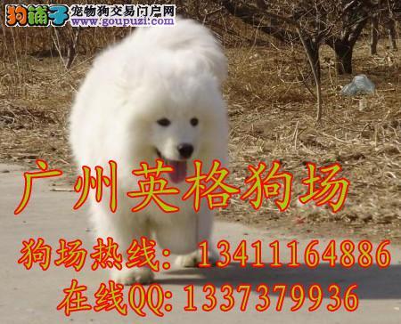 拉布拉多猎犬 广州拉多猎犬多少钱 广州英格犬业高清图片