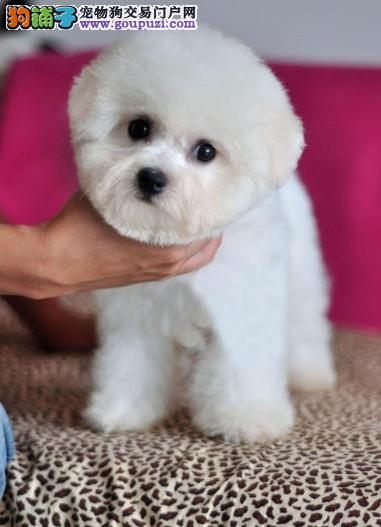 沧州自家养比熊犬幼犬找新家不掉毛无异味的宠物狗比熊