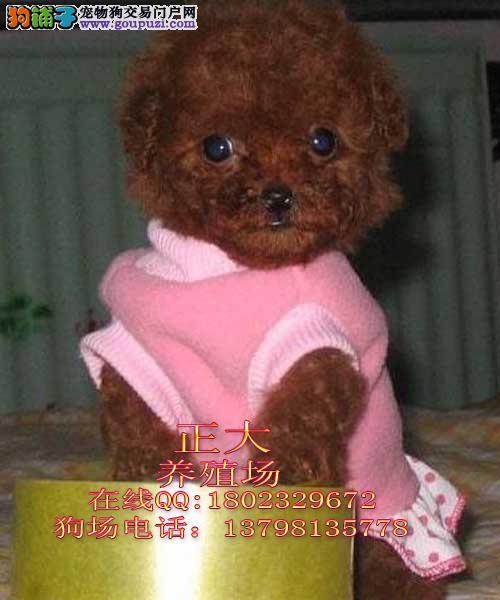 广州一只茶杯贵宾幼犬价格纯种贵宾犬价格贵宾