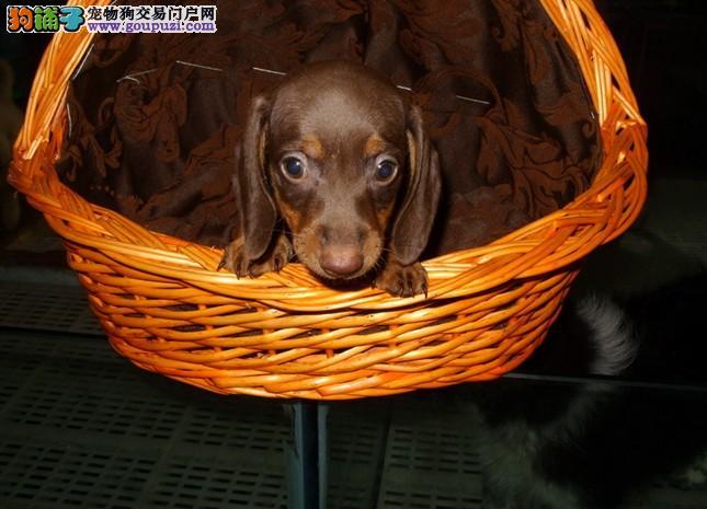 腊肠犬幼犬出售中,纯正血统完善服务,可签保障协议