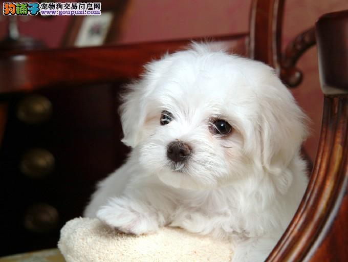 纯种可爱马尔济斯宠物狗 大眼睛纯白毛 购犬签协议