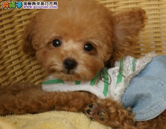 秦皇岛家养精品泰迪熊犬转让保证健康疫苗已做2