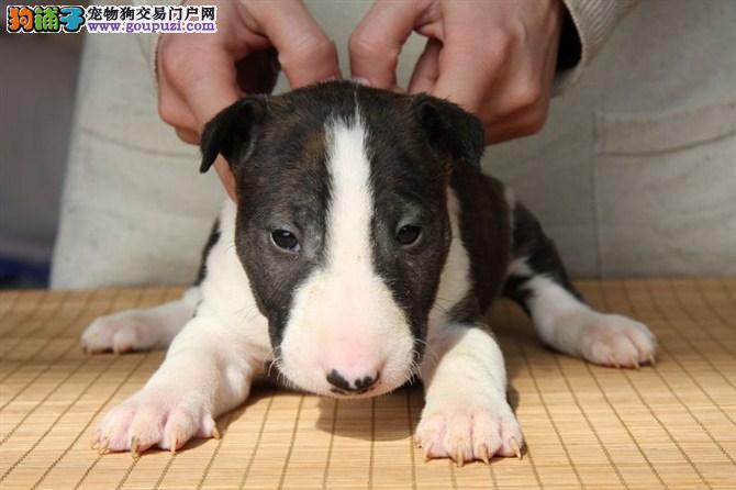 专业繁殖牛头梗幼犬海盗眼牛头梗高品质纯血统保健康