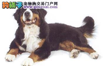 武汉市出售伯恩山犬 包半年健康 疫苗齐全 可刷卡纯种