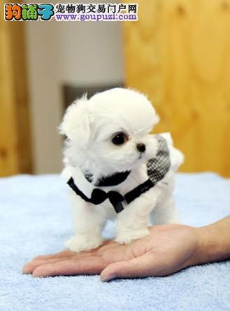 纯种马尔济斯幼犬出售 买狗签协议 送宠物用品 欢迎上门挑选