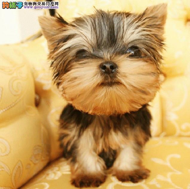 北京正规繁殖基地诚信交易纯种约克夏犬健康签协议