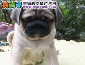 出售正宗血统优秀的巴哥犬真实照片包纯