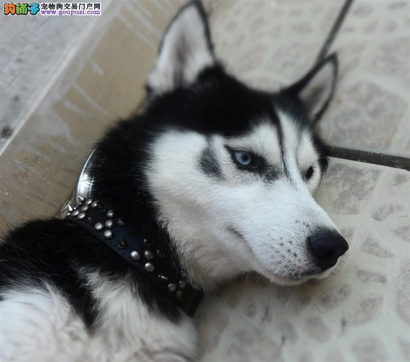 最大犬舍出售多种颜色哈士奇真实照片包纯