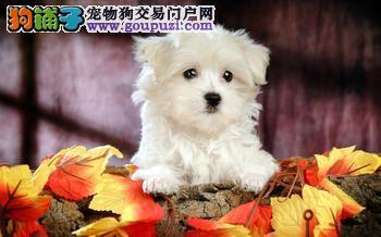 马尔济斯幼犬出售 健康质保 证件齐全 周边可送货上门