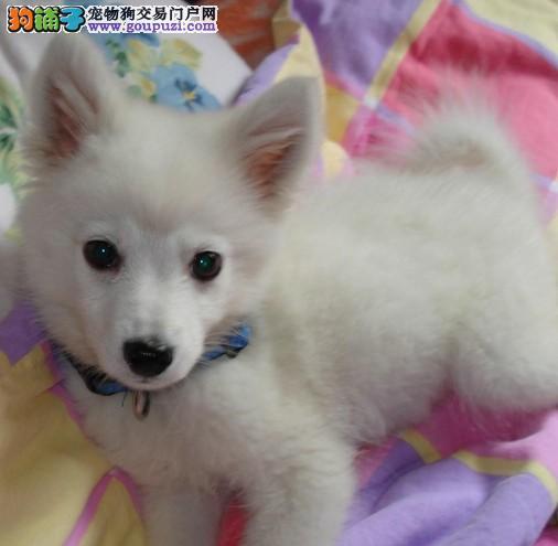 哪里有卖日本尖嘴银狐 家养银狐幼犬高品质 包健康纯种