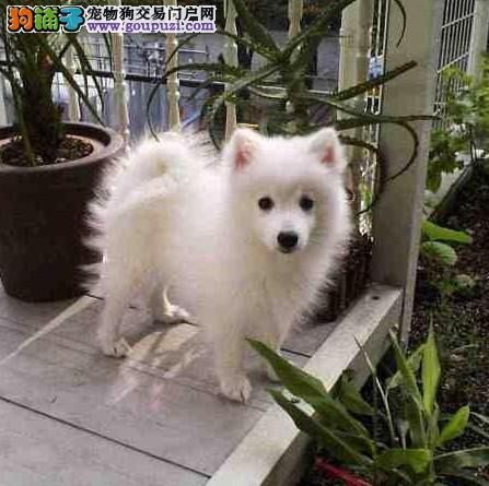 高品质银狐犬宝宝 自家繁殖保健康 提供养护指导