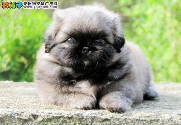 深圳纯种宫廷京巴幼犬出售 保质保健康 有协议有保障