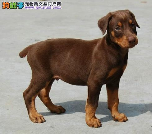 繁殖基地出售多种颜色的杜宾犬期待您的光临