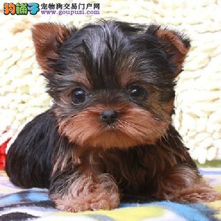 品相极佳精品金头银背 专业繁殖出售纯种约克夏幼犬